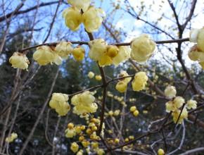 黄色い花のロウバイ