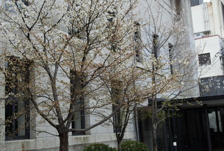 開花の早い彼岸桜