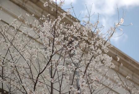 こちらはルネスホールの彼岸桜